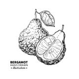 Bergamot vector drawing. Isolated vintage  illustration of citru Stock Image