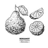 Bergamot vector drawing. Isolated vintage illustration of citrus fruit with slices. Organic food. Essential oil Stock Image