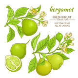 Bergamot vector set. Bergamot branches vector set on white background Royalty Free Stock Images