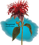 Bergamota Imagem de Stock Royalty Free