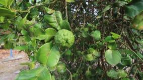 Bergamota na bergamotowym drzewie z bergomot liściem zdjęcie wideo
