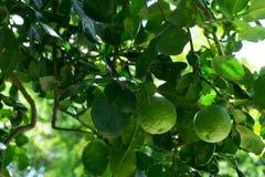 Bergamota na drzewie Zdjęcia Stock