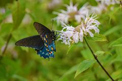 Bergamota selvagem e borboleta de Spicebush Swallowtail foto de stock
