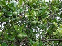 Bergamotboom Royalty-vrije Stock Afbeeldingen