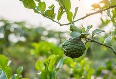 Bergamote, élevage de fruit de chaux de Kaffir sur la tige dans la ferme Photos libres de droits
