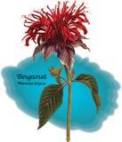Bergamote Image libre de droits
