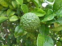Bergamote sur l'arbre Photo libre de droits