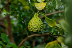 Bergamote sur l'arbre (chaux de Kaffir) Photographie stock libre de droits