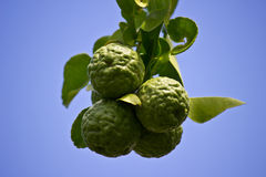 Bergamots. Is beautiful on sky Royalty Free Stock Photography