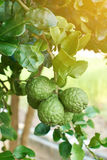 Bergamots oraganic citrus fruit Royalty Free Stock Image