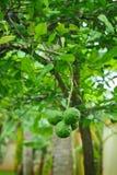 Bergamotte. Lizenzfreies Stockbild