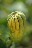 Bergamotte auf Baum Stockfotos