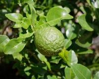 Bergamotte auf Baum im Garten Stockbild