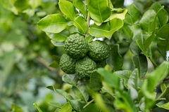 Bergamotte auf Baum (Kaffir-Kalk) Lizenzfreies Stockbild