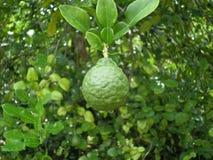 Bergamotte auf dem Baum Lizenzfreies Stockbild