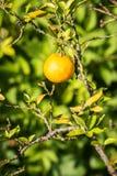 Bergamottenfrucht Stockbild