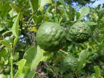 Bergamottenfrucht auf dem Baum Stockbilder