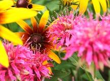 Bergamotto e zinnia nel giardino Fotografia Stock