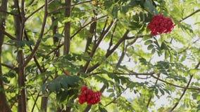 Bergaskaträd stock video