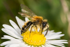Bergbau-Biene (Andrena SP etwas körniges) Stockfoto