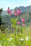 Bergbloem met kleine roze bloei Stock Foto's
