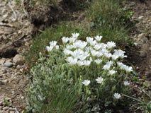 Bergbloemen Royalty-vrije Stock Afbeelding