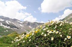 Bergbloemen in de Alpen Stock Afbeeldingen