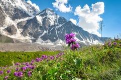 Bergbloemen in een weide op een achtergrond van sneeuwbergen Royalty-vrije Stock Foto's