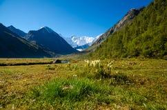Bergbloemen, Rusland, Altai-Republiek Stock Afbeeldingen
