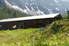 Bergcabine met blauwe gentiaan Stock Afbeelding