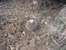 Bergcactus in Bloei Stock Fotografie