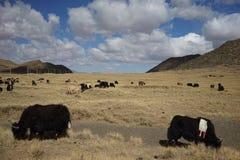Berge und Yak in Tibet Stockfoto