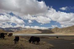 Berge und Yak in Tibet Stockbild
