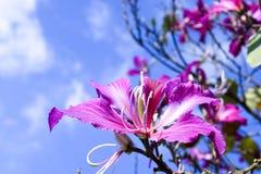 Bergebenholts, orkidéträd Royaltyfri Foto