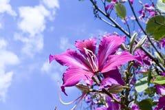 Bergebenholts, orkidéträd, purpurfärgad Bauhinia med blå himmel i vinter Royaltyfri Foto
