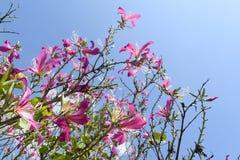 Bergebenholts, orkidéträd, purpurfärgad Bauhinia med blå himmel i vinter Royaltyfria Bilder