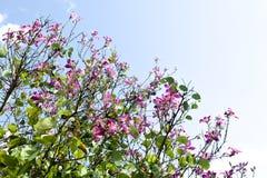 Bergebenholts, orkidéträd, purpurfärgad Bauhinia med blå himmel i vinter Royaltyfri Fotografi