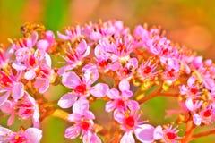 Bergenia δασικό λευκό άνοιξη λουλουδιών Στοκ Εικόνες
