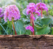 Bergenia behind wooden board Stock Photo