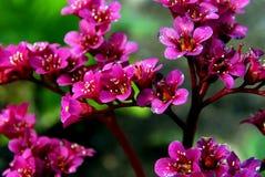 Bergenia-Blumen Lizenzfreies Stockfoto