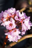 Bergenia ciliata (Elephant ear) - plant with beautiful flowers. Bergenia ciliata (Elephant ear) - plant with beautiful pink flowers stock image