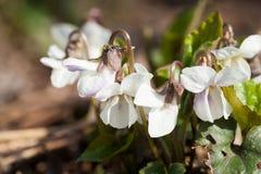 Bergenia ciliata (Elephant ear) - plant with beautiful flowers Royalty Free Stock Photo