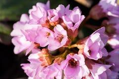 Bergenia ciliata (Elephant ear) - plant with beautiful flowers Royalty Free Stock Photography