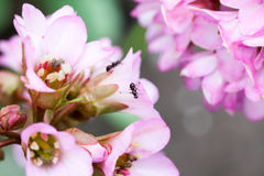 Bergenia ciliata Elephant ear - plant with pink flowers Royalty Free Stock Photography