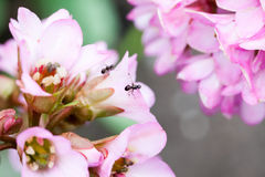 Bergenia ciliata Elephant ear - plant witha nts. Bergenia ciliata Elephant ear - plant with beautiful pink flowers and ants royalty free stock photo