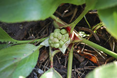 Bergenia cordifolia bud. Stock Photos