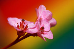 Bergenia cordifolia flowers against colorful background Royalty Free Stock Images