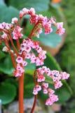 Bergenia cordifolia Stock Image