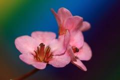 Bergenia cordifolia flowers Stock Photography