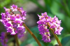 Bergenia cordifolia pink flowers, blooming. Royalty Free Stock Images